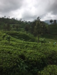 Sri Lanka train tea 1
