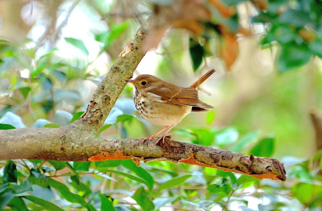 A hermit thrush in a tree. Hermit thrushes have brown backs and heads and white bellies with black spots.