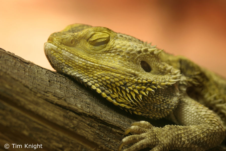 Cute Baby Gecos Wallpaper Beardies Vs Leos Reptile Maniac