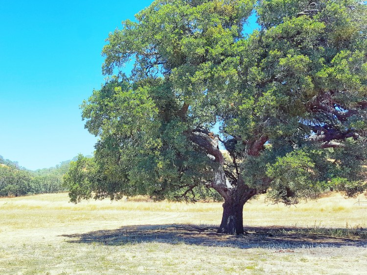 tree-livermore-valley-del-valle-regional-park