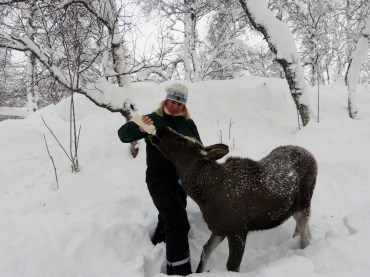 Feeding an orphaned baby moose at the Polar Zoo. He was very strong!