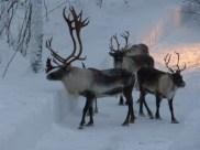 Beautiful reindeer herd on the move
