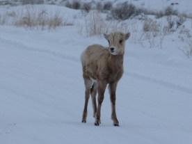 Baby Big Horn Sheep, Grand Tetons National Park