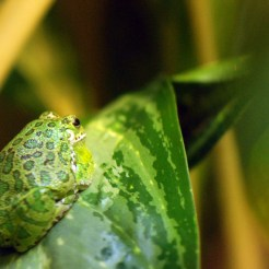 A fat green frog on a green leaf in the lower left hand side of the photo. The frog's back is to the camera.