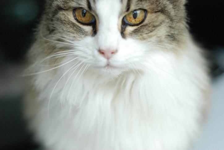 Headshot of a cat