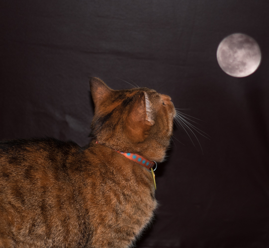 A cat looking at a moon in a double exposed picture