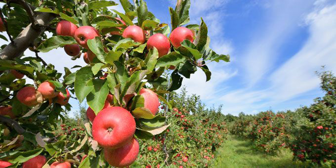 1Apple-Daves-Orchards