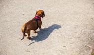 Sausage dog walking