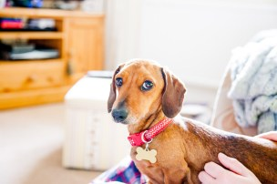 Sausage dog looking guilty
