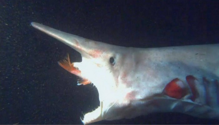 Alien-goblin-Shark-1