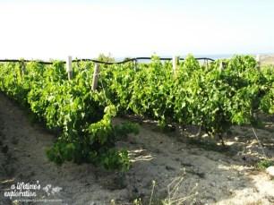 wine, vineyard, gozo, malta, nature, wine