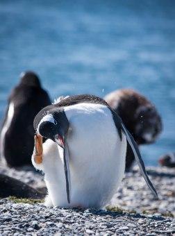 penguinscratch2