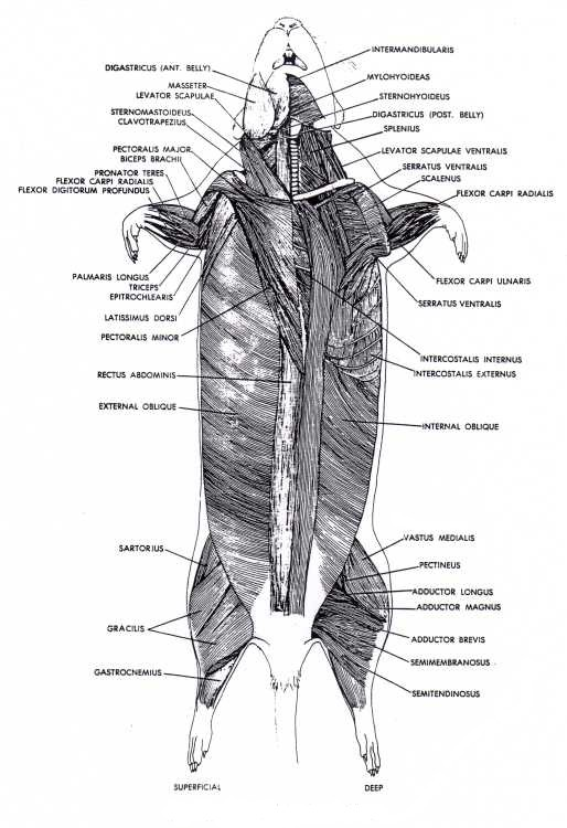 Frog Integumentary System Diagram Muscular System Rat Dissection