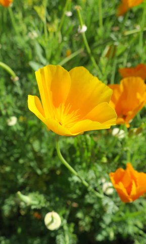 California poppy at Kendall-Jackson Estate, Santa Rosa, California