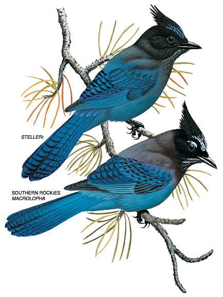 stellers-jay-illustration_17286_435x580