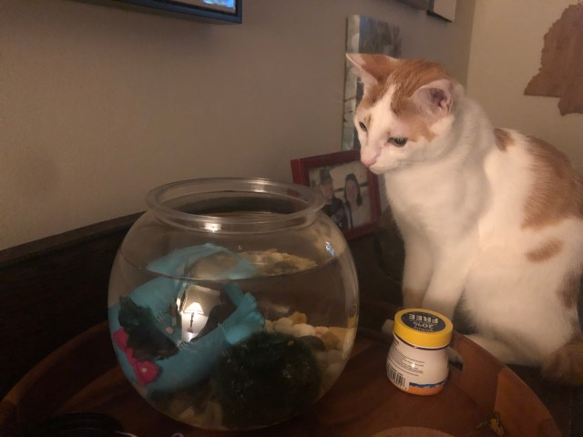 An orange and white cat looks into a fish bowl. A blue beta fish swims in the bowl oblivious. This is the first time the cat has noticed the fish and he's been drinking out of that bowl for 3 months now.
