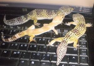 3 geckos