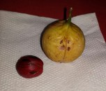 Nut and fruit of the nutmeg. The red stuff on the outside of the nut is peeled off, dried and turned into Mace, a baking spice.