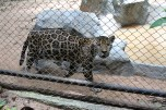 This was a young jaguar. Beautiful coat. But seemed bored in the cage.