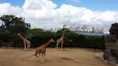 The giraffes have a killer view.