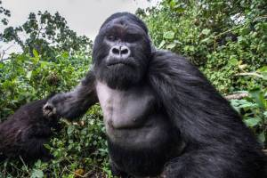 photographer-captures-amazing-moment-gorilla-winds-up-punch-to-knock-him-out