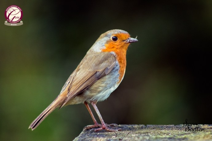 A close up image of a robin with insects in its beak.