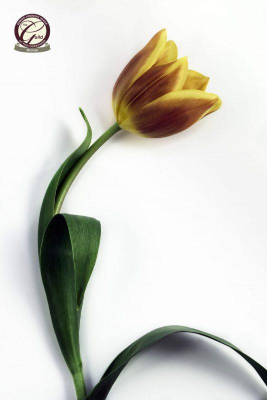 Spring flowers Single tulip flower set against white background.