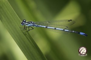 Close up of an azure damselfly resting on a leaf.