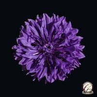 Award Winning Photography - Single Purple Cornflower