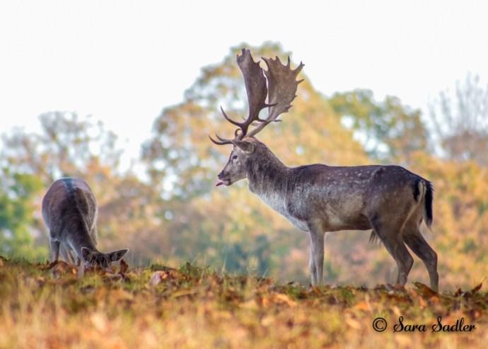 Fallow deer in Autumn