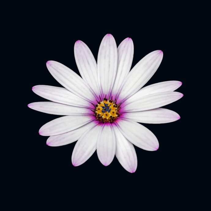 African Daisy on a black background.