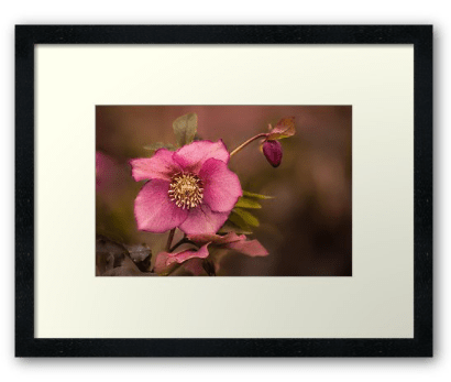 Framed Christmas Rose Prints