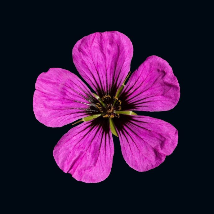 Pink Geranium Flower ops a black background