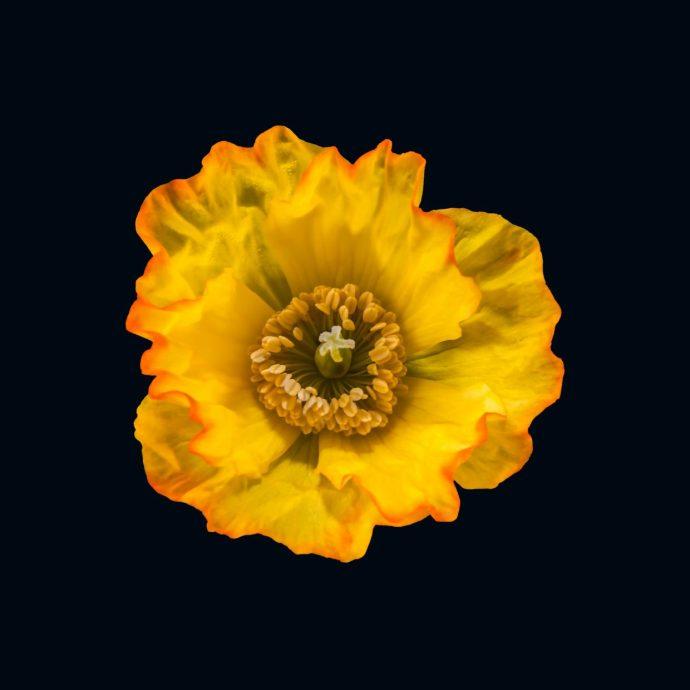 Yellow Poppy Flower on a black background