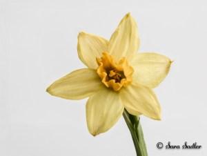 Spring Daffodil flower