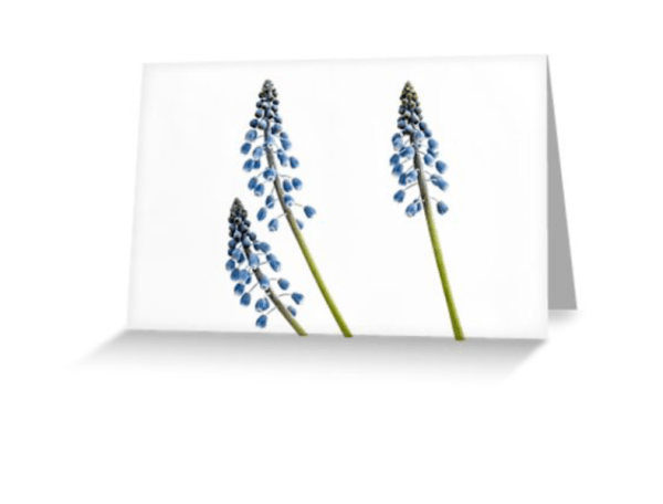 Grape Hyacinth Flower Cards