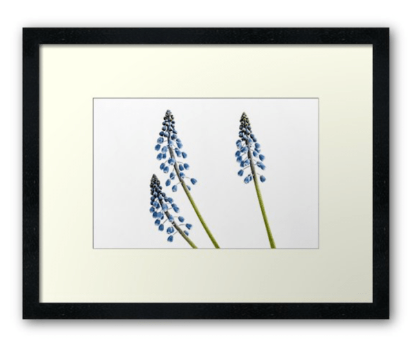 grape Hyacinth flower photographic print