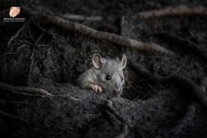 Rat image gets bronze award