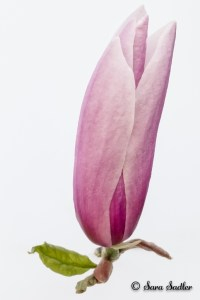 Spring flowers - the magnolia flower