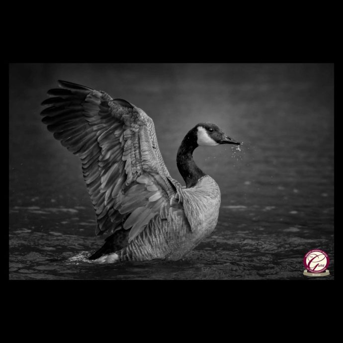 Cananda Goose with outstretched wings