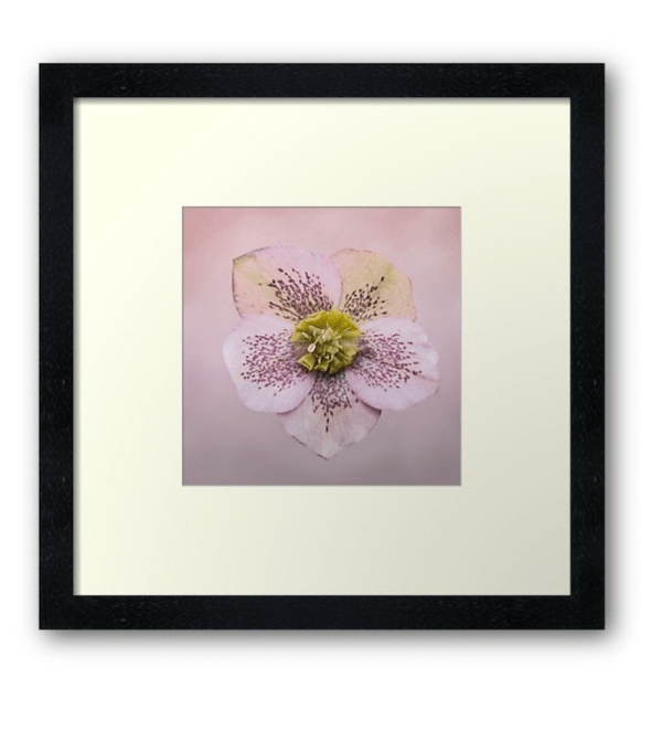 Hellebores flower photographic print