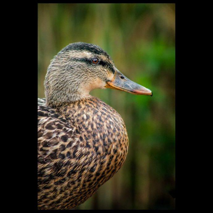 Close up of a mallard duck