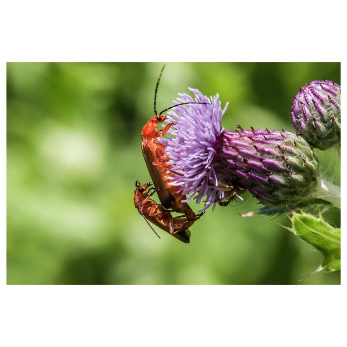 Mating soldier beetles