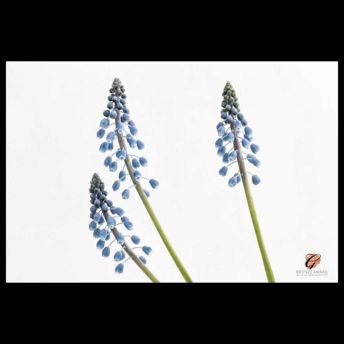 Three Grape Hyacinth flowers win bronze award