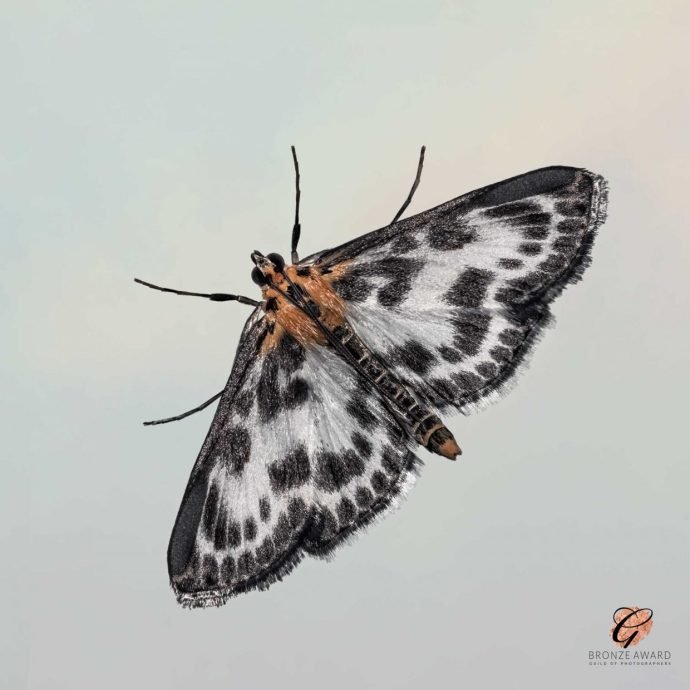 Magpie Moth wins bronze award