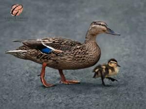 Duck and duckling - Bronze award