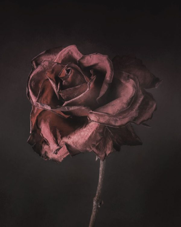 dying rose 2