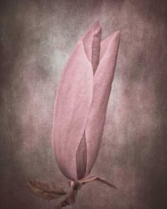 Magnolia flower as a painterly art image