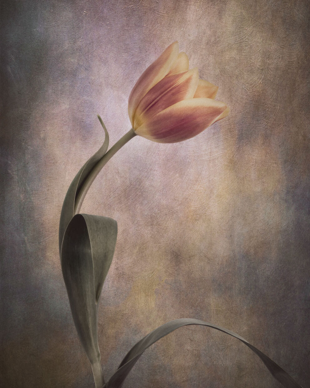 tulip flower - floral art images available as prints