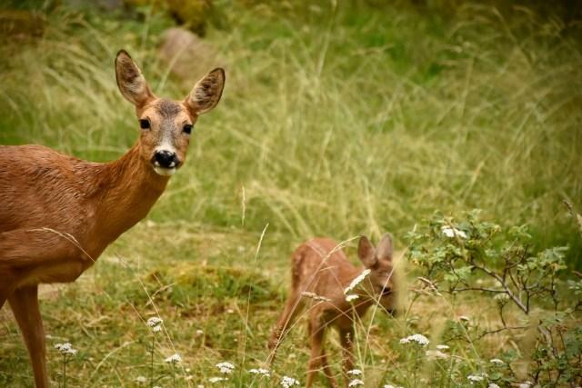 Bilden föreställer två rådjur: en get som tittar in i kameran och hennes kid som betar i gräset.